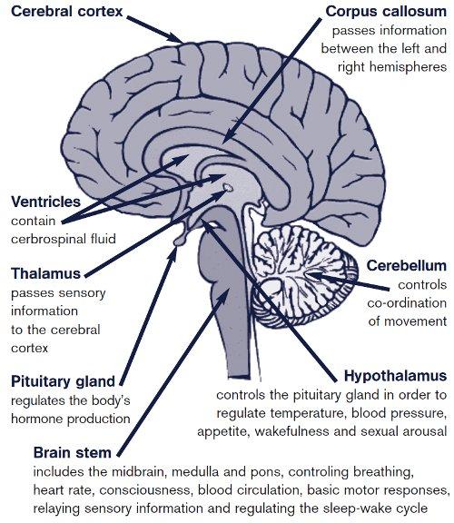 cranium and brain stem